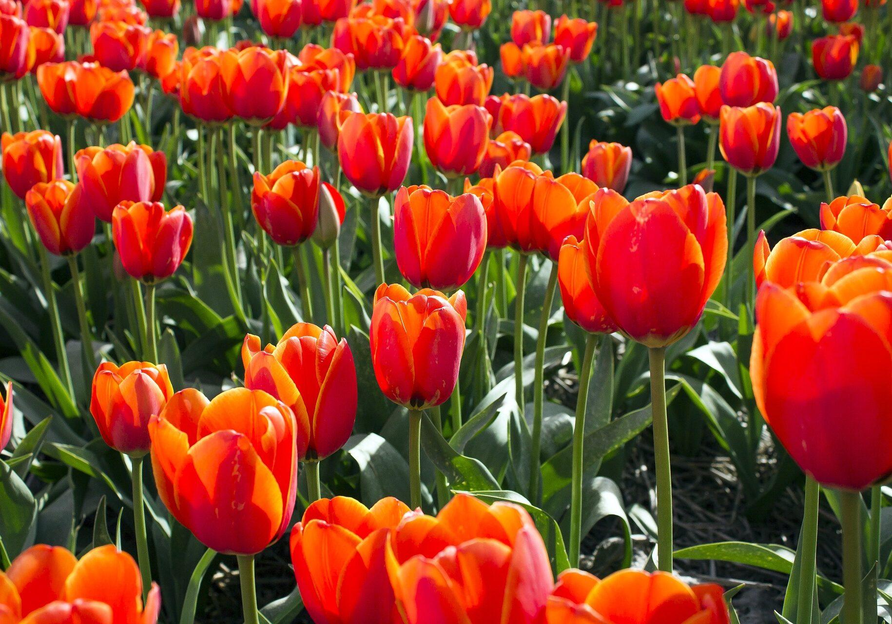 tulips-733497_1920
